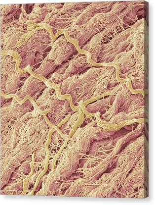 Dense Connective Tissue, Sem Canvas Print by Steve Gschmeissner