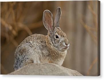 Desert Cottontail Rabbits Canvas Print by Joel Sartore