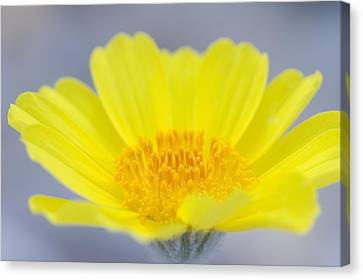 Desert Gold Is A Common Wildflower That Canvas Print by Phil Schermeister