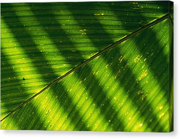Detail Of A Large Leaf With Shadows Canvas Print by Bill Curtsinger