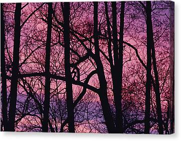 Detail Of Bare Trees Silhouetted Canvas Print by Mattias Klum