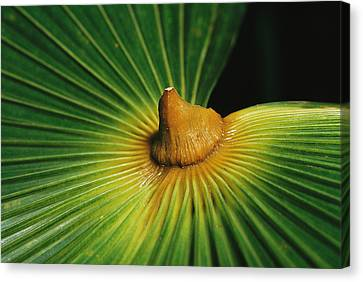 Detail Of Frond Of The Thrinax Radiata Canvas Print