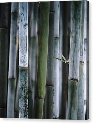 Detail Of Green Bamboo In Bamboo Park Canvas Print by Axiom Photographic