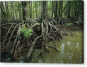 Detail Of Mangrove Roots At The Waters Canvas Print by Tim Laman