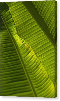 Detail Of Palm Tree Barbados Canvas Print by Axiom Photographic
