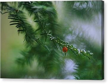 Detail Of Yew Bough With One Red Berry Canvas Print by Mattias Klum