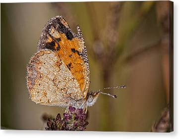 Dew Drenched Pearl Crescent Butterfly Canvas Print by Bonnie Barry