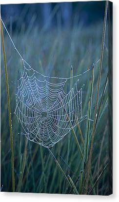 Dew Drops Cling To A Spider Web Canvas Print