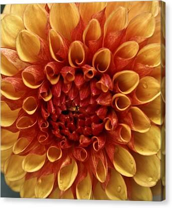 Dew Kissed Chrysanthemum Canvas Print