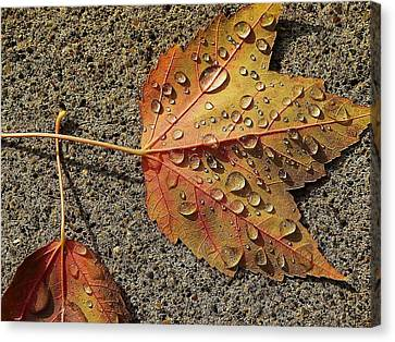 Dew On The Maple Leaf Canvas Print