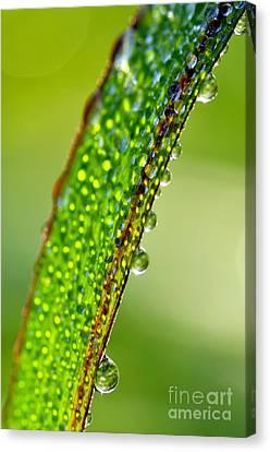 Dewdrops On Lemongrass Canvas Print by Thomas R Fletcher