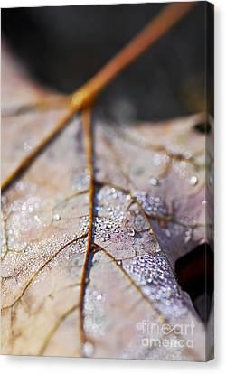 Dewy Leaf Canvas Print by Elena Elisseeva
