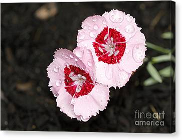 Dianthus Flowers Canvas Print by Denise Pohl
