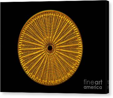 Diatom Alga, Arachnoidiscus Canvas Print by Eric Grave