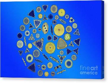 Diatom Arrangement Canvas Print by M I Walker