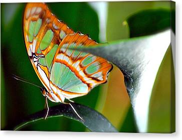 Canvas Print featuring the photograph Dido Longwing Butterfly by Peggy Franz