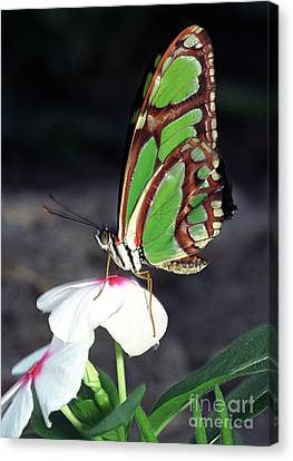 Dido Longwing Butterfly Canvas Print by Terry Elniski