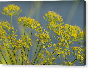 Dill Canvas Print by Lisa Tate