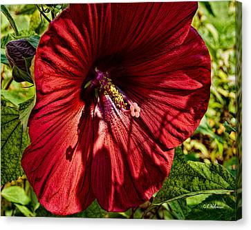 Dinner Plate Hibiscus Canvas Print by Christopher Holmes
