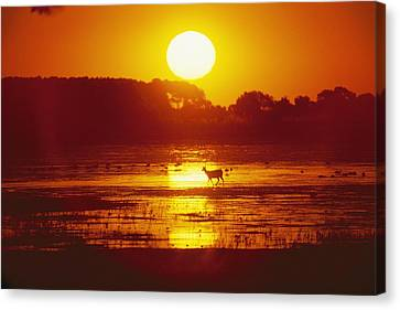 Distant Deer Silhouetted In A Marsh Canvas Print by Amy White & Al Petteway