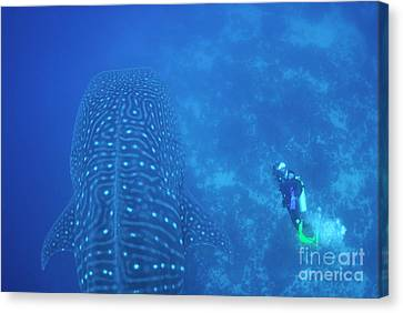 Diver Filmming A Whale Shark Canvas Print by Sami Sarkis
