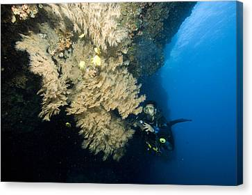 Diver Next To A Coral Fan Sheltering Canvas Print by Tim Laman