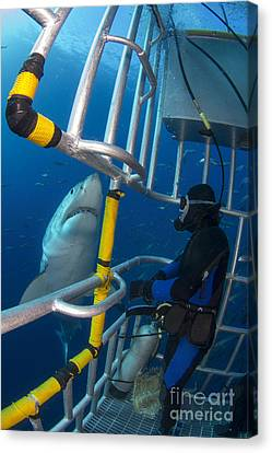 Cage Diving Canvas Print - Diver Observes A Male Great White Shark by Todd Winner