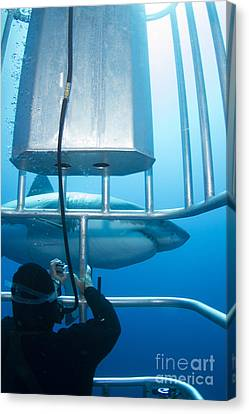 Cage Diving Canvas Print - Diver Taking A Photo Of A Male Great by Todd Winner