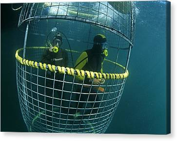 Cage Diving Canvas Print - Divers In A Shark Cage by Alexis Rosenfeld