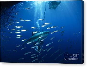 Cage Diving Canvas Print - Divers Viewing Great White Shark by Todd Winner