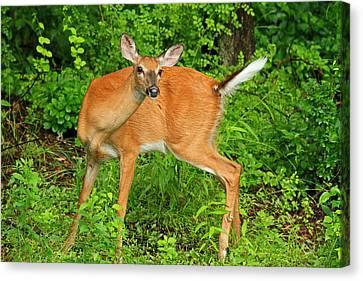 Doe A Deer Canvas Print by Karol Livote