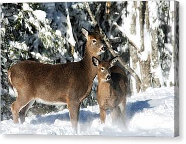 Doe A Deer Canvas Print by Nancy Dempsey