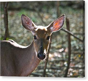 Doe Profile 9734 Canvas Print by Michael Peychich