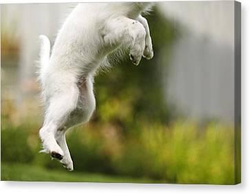 Dog Jumps Canvas Print by Richard Wear