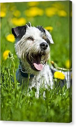 Dog Lying In Meadow Canvas Print by Stock4b-rf