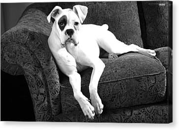Dog On Couch Canvas Print by Sumit Mehndiratta