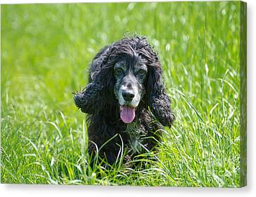 Dog On The Grass Canvas Print by Mats Silvan
