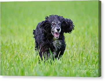Dog Running On The Green Field Canvas Print by Mats Silvan