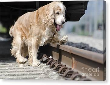 Dog Walking Over Railroad Tracks Canvas Print by Mats Silvan