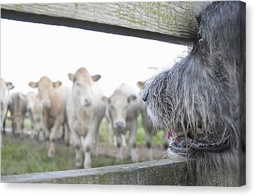 Cattle Dog Canvas Print - Dog Watching Cows Through Fence by Cecilia Cartner