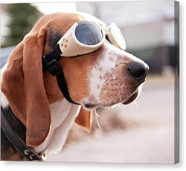 Dog Wearing Goggles Canvas Print by Darren Boucher