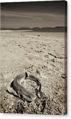 dogfish at Newborough Beach Canvas Print by Meirion Matthias