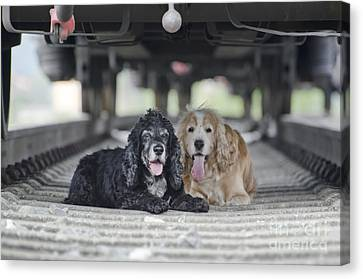 Dogs Lying Under A Train Wagon Canvas Print by Mats Silvan