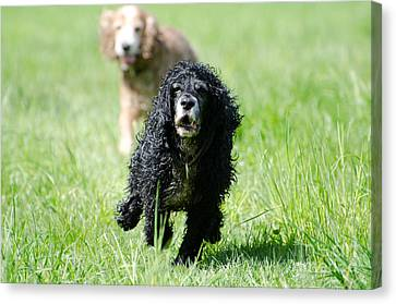 Dogs Running On The Green Field Canvas Print by Mats Silvan