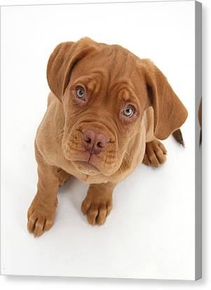 Mastiff Pups Canvas Print - Dogue De Bordeaux Puppy by Mark Taylor