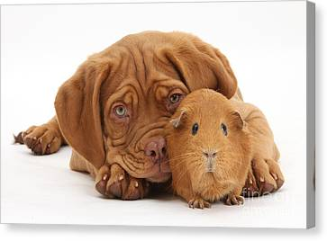Dogue De Bordeaux Puppy With Red Guinea Canvas Print by Mark Taylor