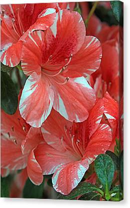 Canvas Print featuring the photograph Dogwood Azalea After Rain by Larry Nieland