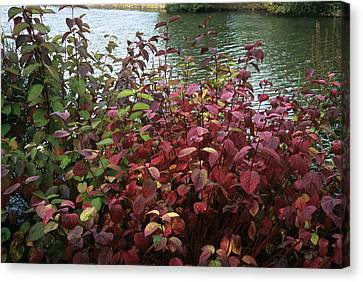 Dogwood Lake Canvas Print - Dogwood (cornus Alba 'sibirica') by Adrian Thomas