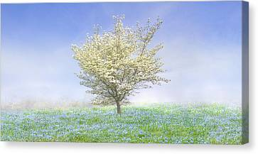 Dogwood In The Mist Canvas Print by Debra and Dave Vanderlaan