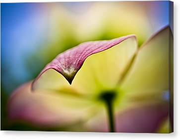 Dogwood Canvas Print by Toni Johnson